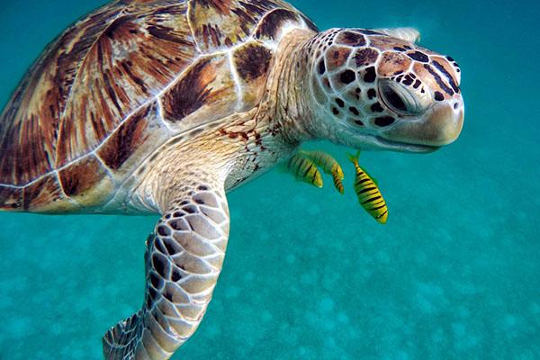 Tauchen auf den Malediven - Schildkröte unter Wasser